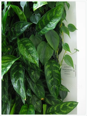 aglaonema une plante d'intérieur par excellence