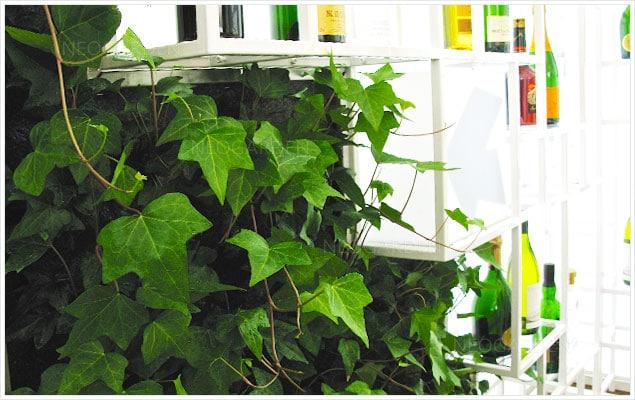lierre sur un mur végétal