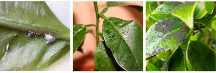 Cochenille-farineuse-mur-vegetal