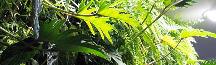 phylodendron mur végétal