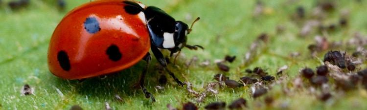 Insectes: La lutte biologique adaptée au mur végétal