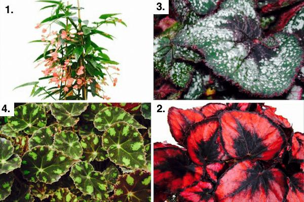 sélection de Begonias