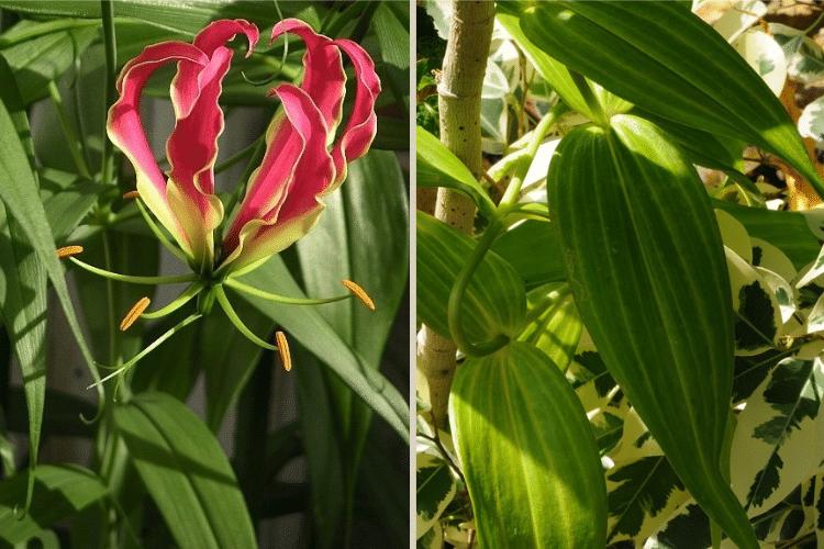 Gloriosa-plante tropicale-pour-mur-vegetal
