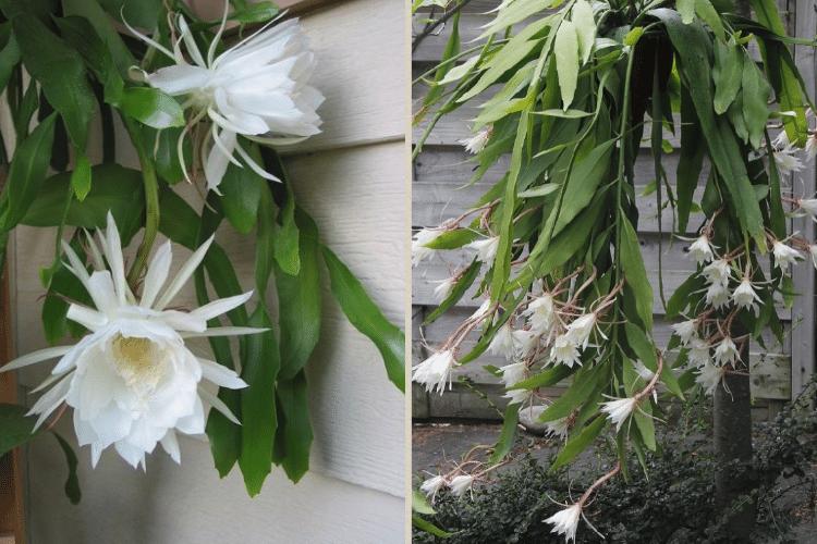 epiphyllum-pour-mur-vegetal