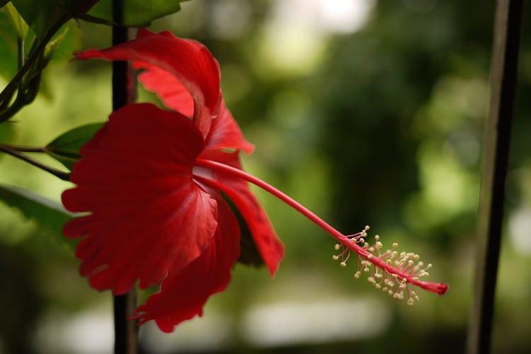 hibiscus-plante-tropicale-pour-mur-vegetal