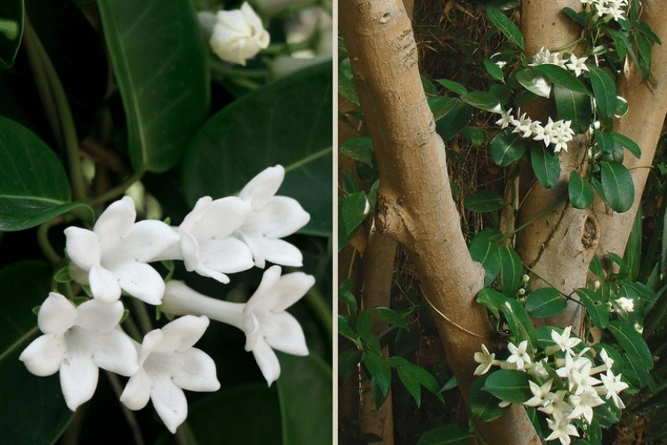 jasmin-de-madagascar-plante-fleurs-pour-mur-vegetal