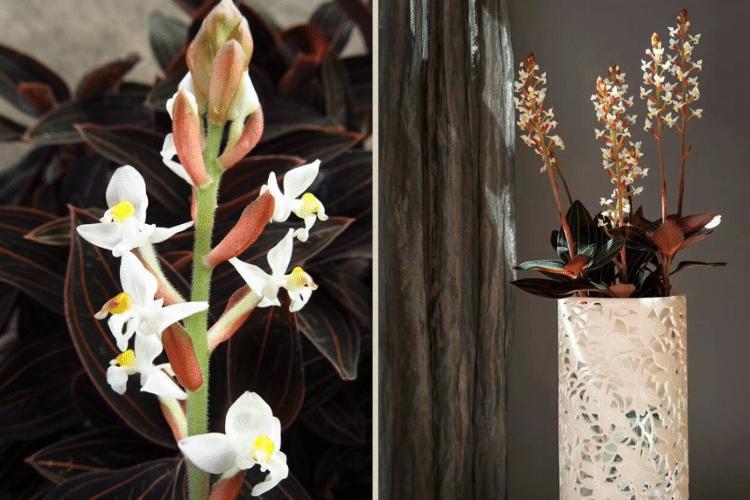 ludisia-discolor-orchidee-pour-mur-vegetal