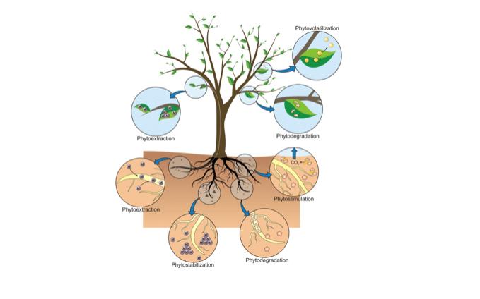 phytoremediation-depollution-des-sols