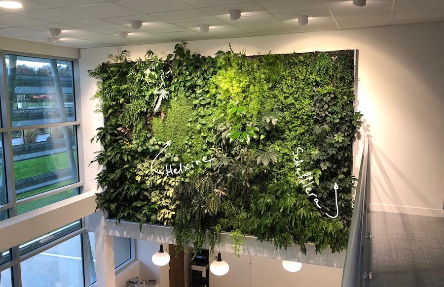 Helxine et Schefflera sur un mur végétal