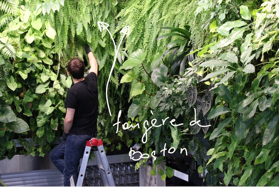 fougere boston sur le mur vegetal
