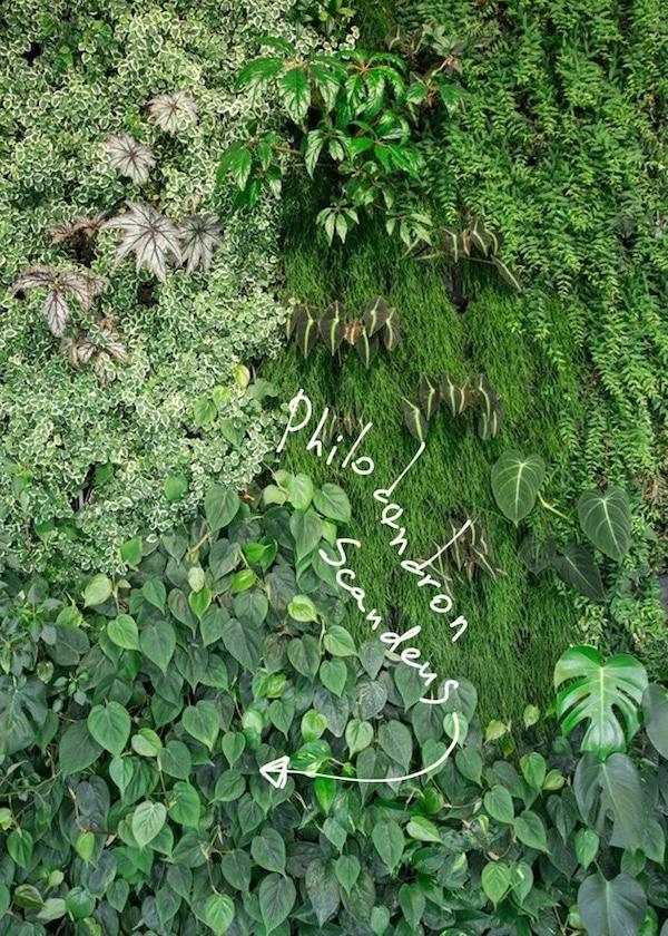 Philodendron scandens sur un mur vegetal