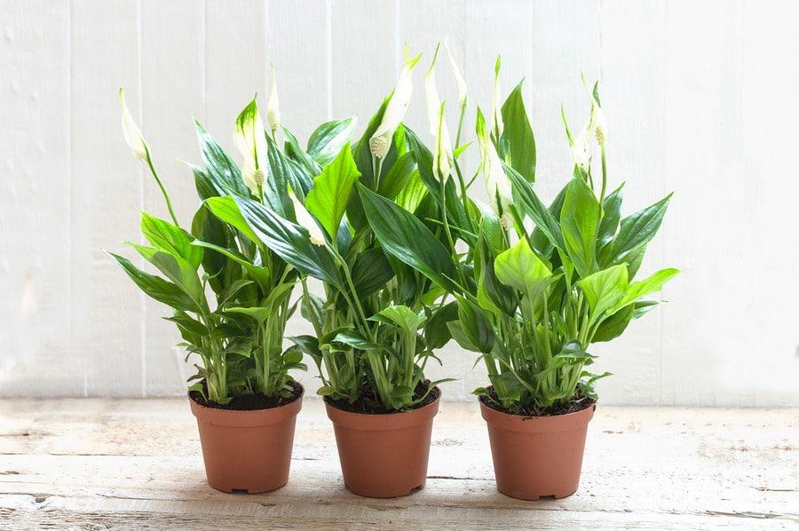 spathiphyllum plante dépolluante par excellence