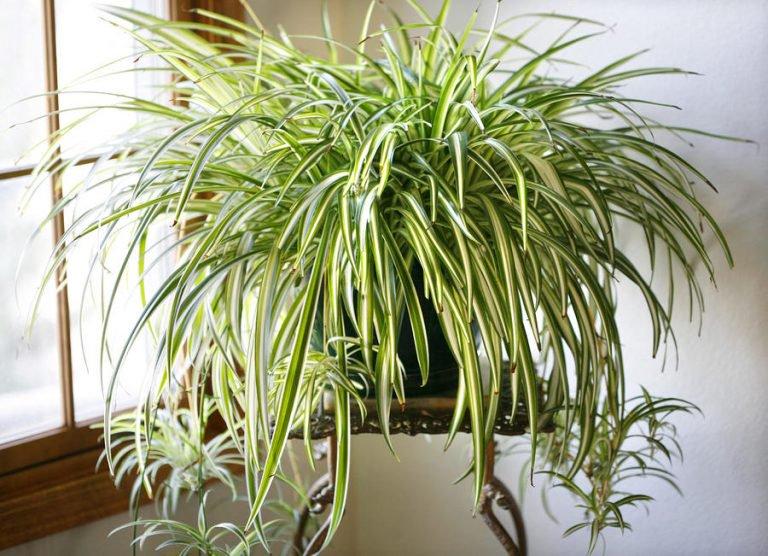 plante araignée - Chlorophittum