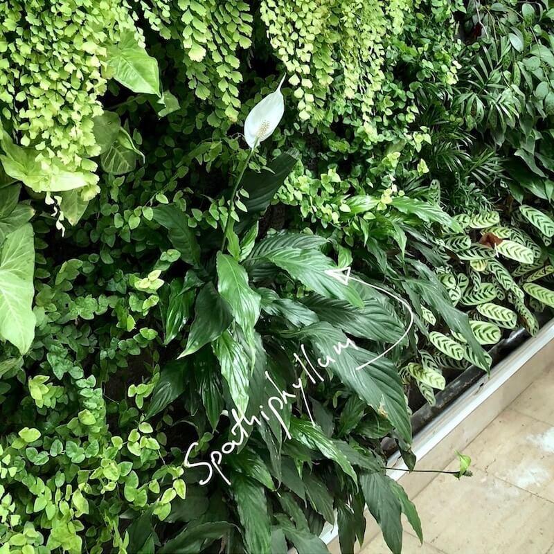 Spathiphyllum en bas du mur vegetal