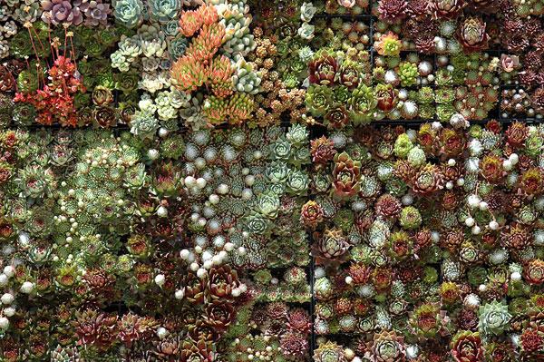 Mur végétal des succulents