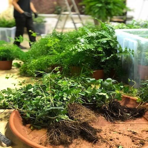 Préparation de plantes pour le mur végétal