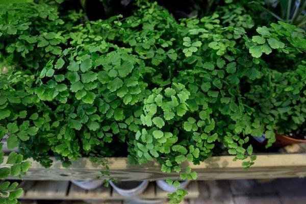 production des plantes: adientum